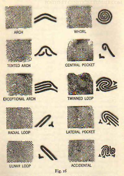 GENETICIST:  Fingerprint patterns (OP)