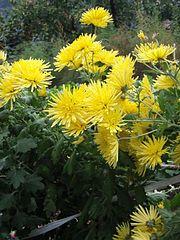Chrysanthemum morifolium j03.jpg