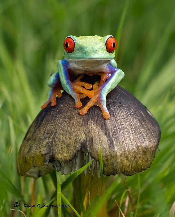 Red Eyed tree frog on a Mushroom