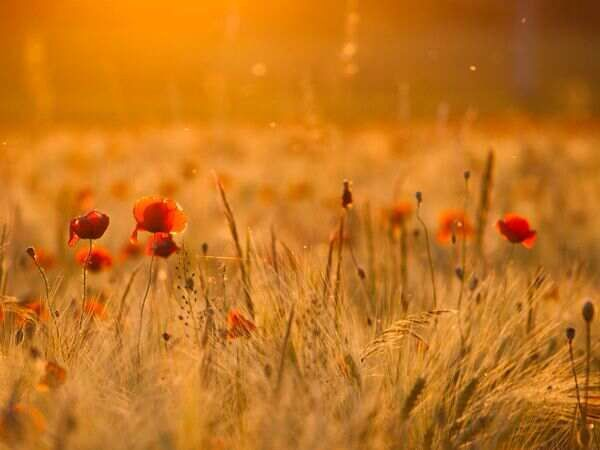 Red poppies..