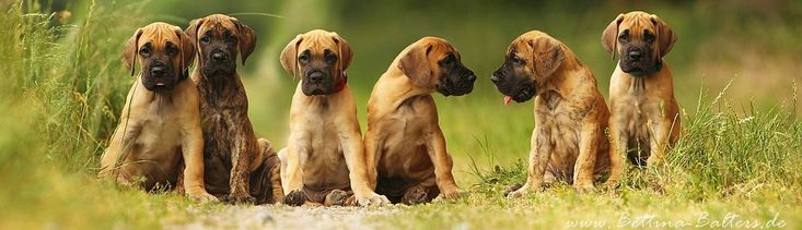 deutsche doggen | Deutsche Doggen in gelb und gestromt