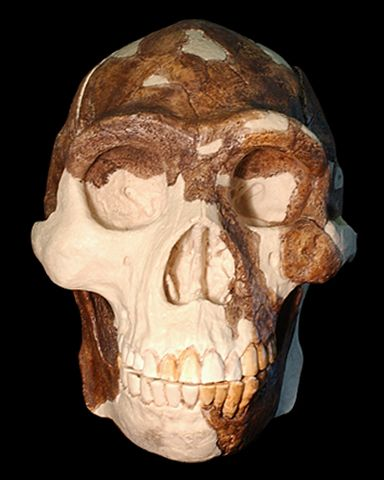 Homo erectus: Peking Man | eFossils Resources