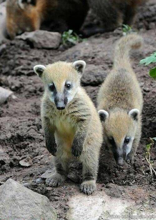Bebek Coati, başta Orta ve Güney Amerika'da bulunan, uzun, esnek bir burun ve halkalı bir kuyruk ile rakun benzeri bir hayvandır.
