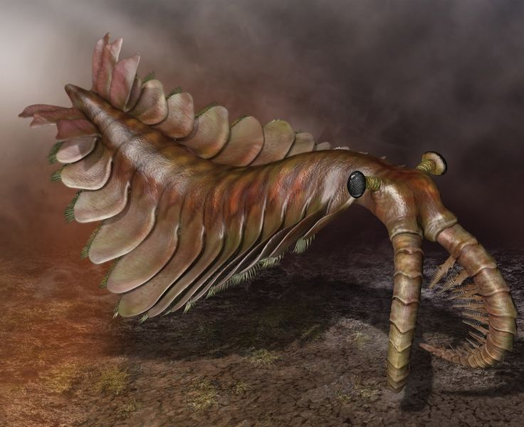Anomalocaris was a giant of the Cambrian, reaching over a meter long. Copyright Quade Paul - The Weird Youth of the Animal Kingdom – Phenomena: The Loom