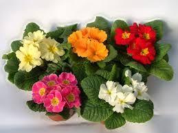 """Képtalálat a következőre: """"tavaszi cserepes virágok"""""""