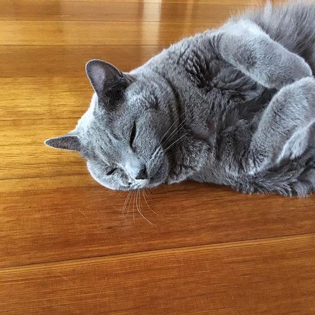 ひたすら寝るぽんちゃん💤🗯 #neko_magazine #ねこ #猫 #ネコ #ねこ写真 #catstagram #ilovecat #ilovecats #cat #cats #neko #愛猫 #アイドルねこ #savethecat #うずらちゃん #子猫 #ねこ雑誌 #ニャステ #ぽち男 #たま子 #ねこマガジン #ロシアンブルー