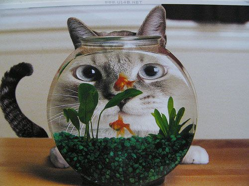 Cat In A Fishbowl (funny,cats,fish,cute,pets)