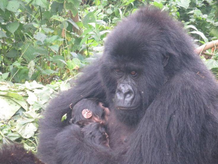 Congo, tra i gorilla in pericolo del Virunga National Park