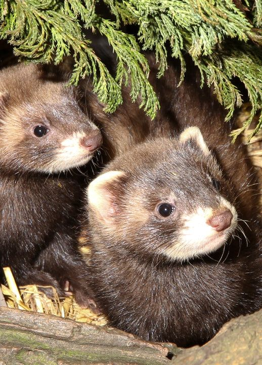 Polecats were hunted to near-extinction in England during the 19th century. While the animals are good at hunting rats and rabbits, which are usually seen as pests by farmers, they were ruthlessly culled to protect game bird estates.
