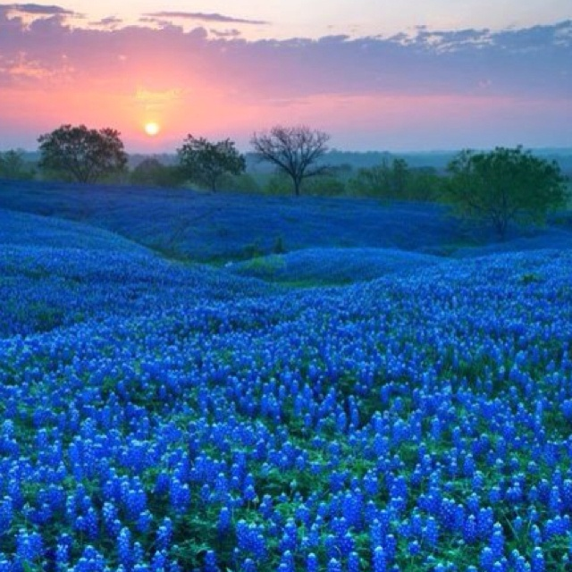 Bluebonnets against a Texas Sunset