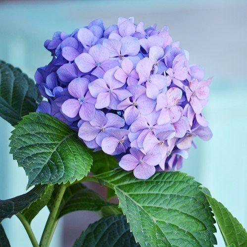 Un día más! Feriado XXL, Enjoy! #hortensia #hydrangea #flowerpower #flowersofinstagram #myweekofflowersandfoliage #dsfloral #mygarden #chezmoi #summertime