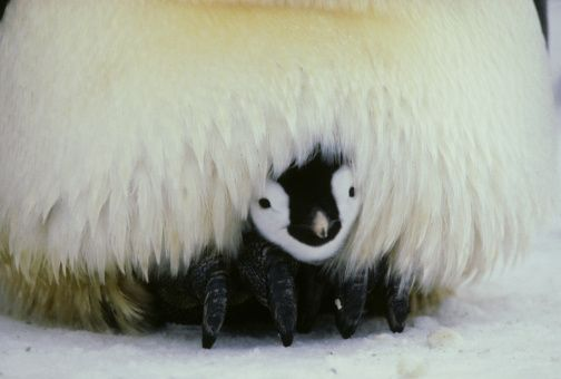 An emperor penguin chick snuggles up warm in its parent's brood pouch. Photo: Getty Images UK