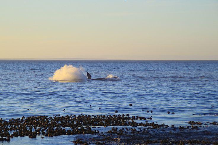 Whale Season in Hermanus, South Africa © Tamlin Wightman