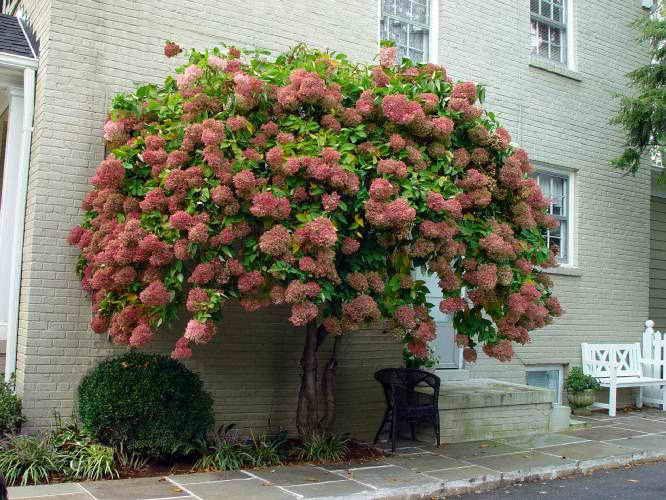 http://dacha-vprok.ru/formirovanie-i-obrezka-gortenzii  Многие садоводы любят выращивать гортензию. Однако чтобы она радовала вас своей красотой ее шикарные кусты нужно уметь правильно сформировать.…