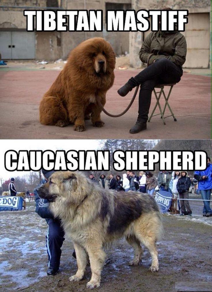 88 Best True Dogs Images On Pinterest Big Dogs Mastiff
