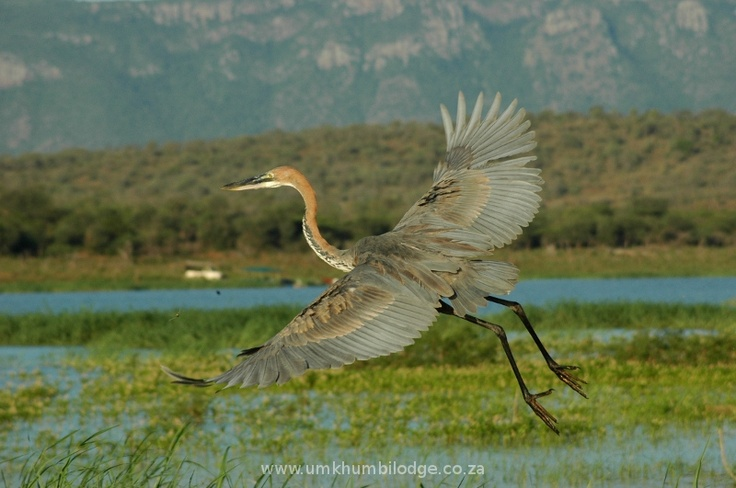 The Goliath Heron soars above the water in search of a quick lunch at Mkhuze game reserve