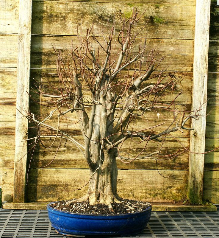 Pre Bonsai Specimen Field Grown American Hornbeam AHST-227 #bonsaitree