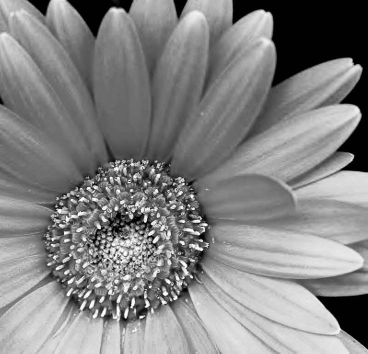 26 best pictures of flowers in black white images on pinterest pictures of black and white flowers google search mightylinksfo Image collections