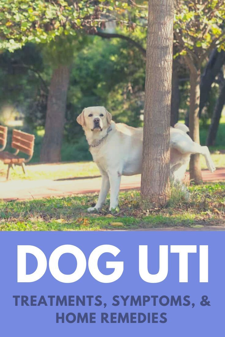 Dog Utis Causes Symptoms Treatments And Home Remedies Dog Uti Dog Uti Treatment Dog Skin Care
