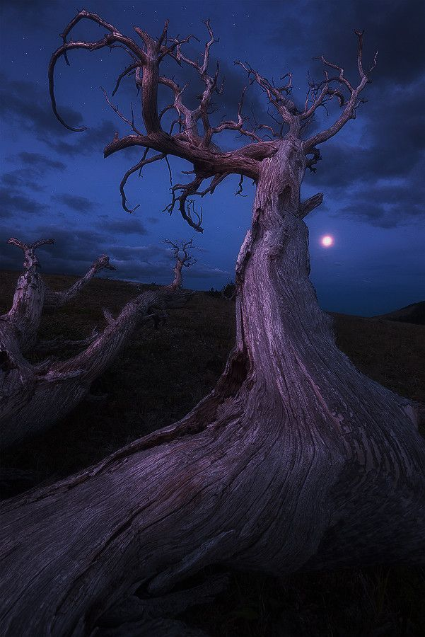 Soul of the Ancients  by  Nagesh Mahadev~ Gnarled old Whitebark Pine atop a high plateau at Glacier National Park