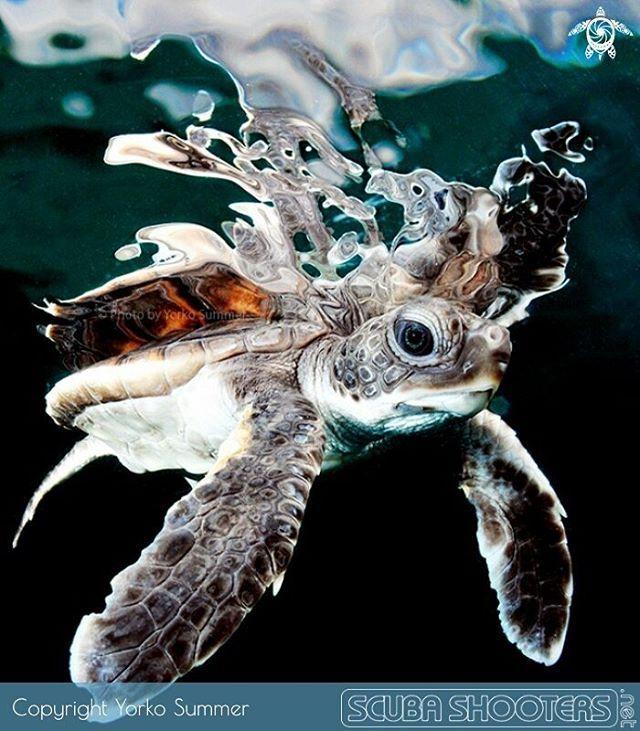 Baby sea turtle in waters near Yap Island in Miconesian