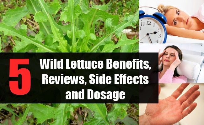 Wild Lettuce Benefits, Reviews, Side Effects and Dosage