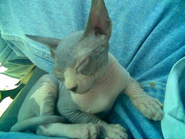Sphynx Cat For Sale Ohio - Best Cat And Kitten Image And
