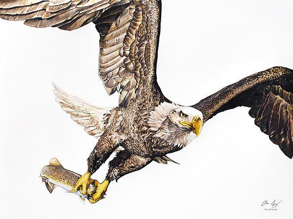 Eagle Catching Fish Drawing 346 best EAGLE- DRAWIN...