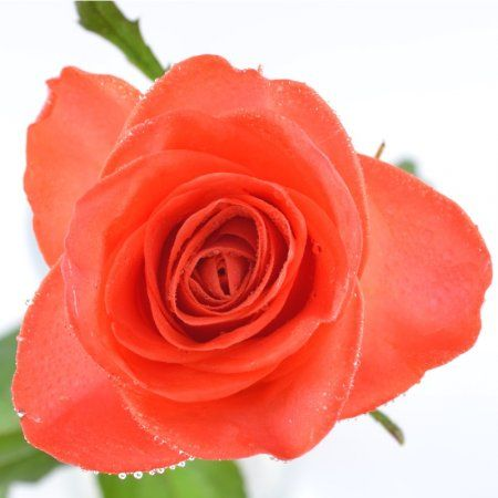 Оранжевые розы поштучно.