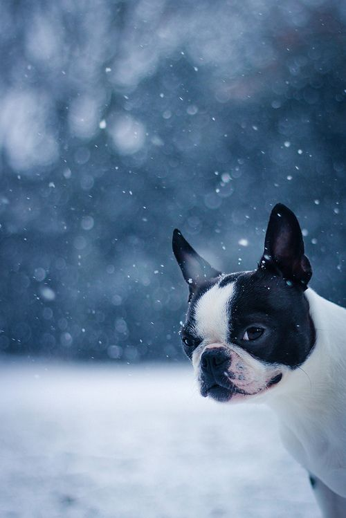 Boston Terriers -- Look to see if your favorite pup with be featured as a new spirit hood. Only at www.spirithoods.com!