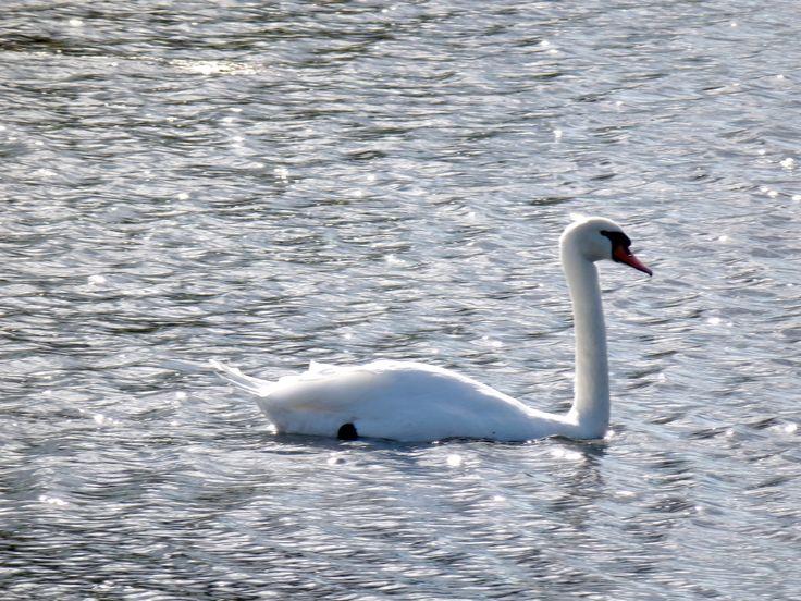 Swan by Adagem.deviantart.com on @DeviantArt