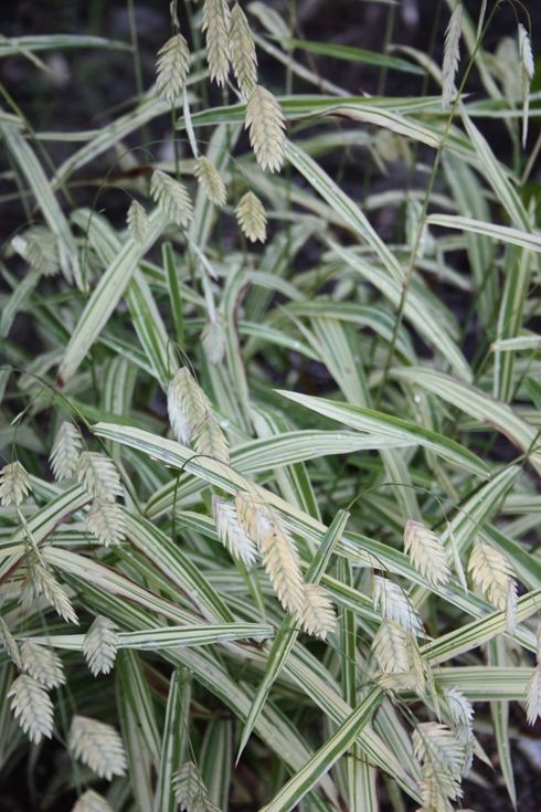 22 best ornamental grasses in the garden images on for Ornamental oat grass varieties