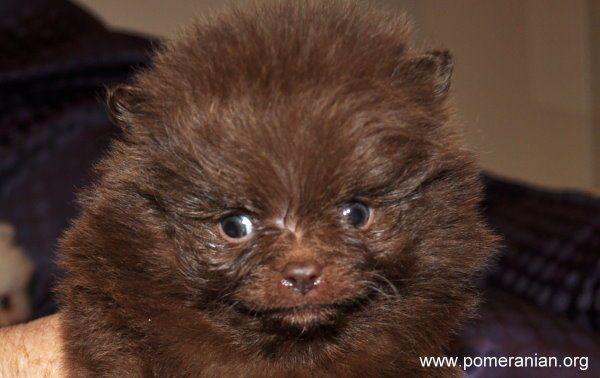 Chocolate Pomeranians Pomeranian Colors Pomeranian Dog Pomeranian