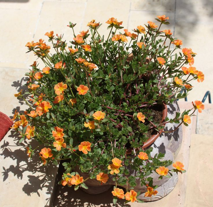 Portulaca oleracea - growing in plant in your graden http://www.growplants.org/growing/portulaca-oleracea