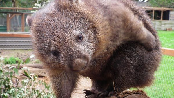 Lilly the Wombat from Trowunna Wildlife Park at Mole Creek.  Article & photo by Belinda Stinson of Creatively Belle.