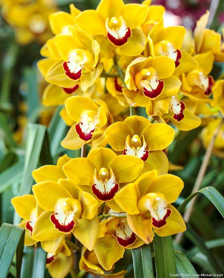 Le cymbidium fait partie des plantes fleuries d'intérieur (orchidées) qui fleurissent longtemps et que vous pouvez faire refleurir facilement. #orchidée #cymbidium #plantedinterieur #plantefleurie #ideedeco #fleurjaune #yellowflowers