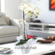 Bol Kandilli Beyaz Orkide çiçeği