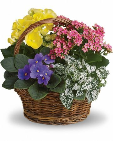 Four pretty potted plants - African violet, yellow begonia, hot pink kalanchoe and white hypoestes - are delivered in a natural handled basket.$75.00