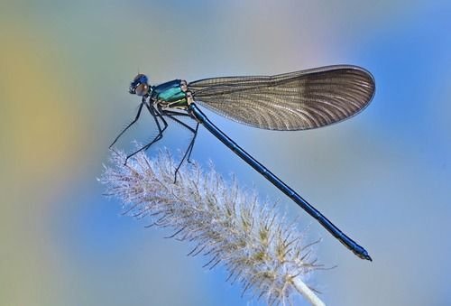 Dragonflies lack humans' big brains, but they still get the job done, according to new research that suggests that these insects have brain cells capable of feats previously seen only in primates.  Specifically, the dragonflies can screen out useless visual information to focus on a target, a process called selective attention. The new study, published Dec. 20 in the journal Current Biology, is the first to find brain cells devoted to selective attention in an invertebrate animal.