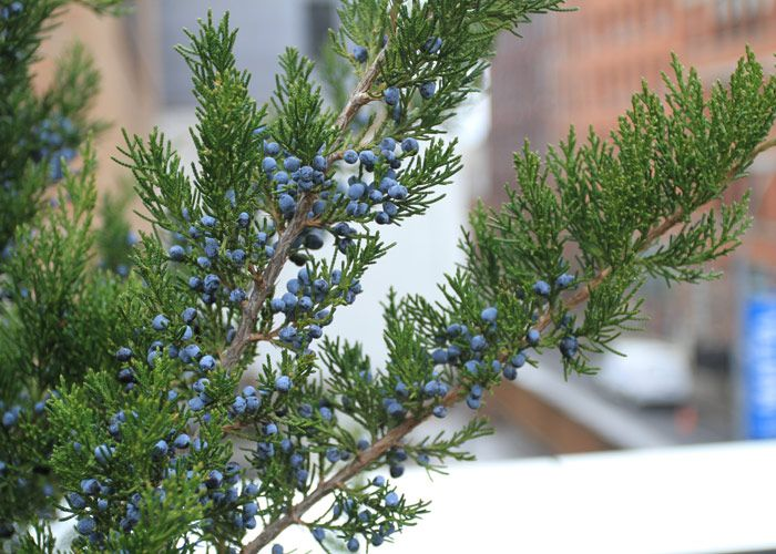 Best images about juniperus virginiana on pinterest