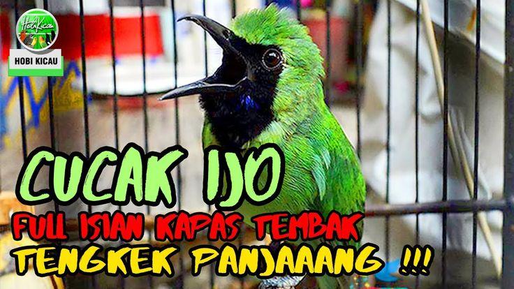 Cucak Ijo Full Isian Kapas Tembak Tengkek Buto Panjang Martapura Animals Bird