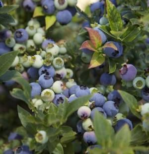 "Blueberry 'Jelly Bean' - Dwarf plant (1-2 feet) that produces a ""bumper crop of large, flavorful berries."""