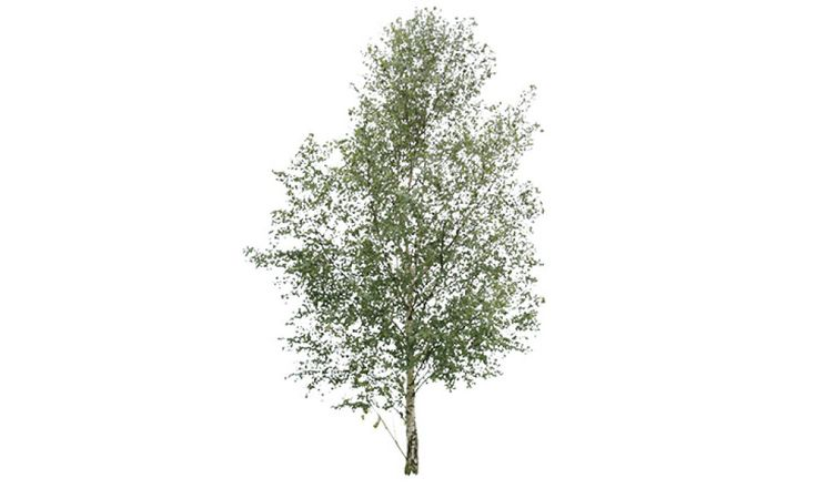 Cut out tree – birch | Free Cut Out people, trees and leaves