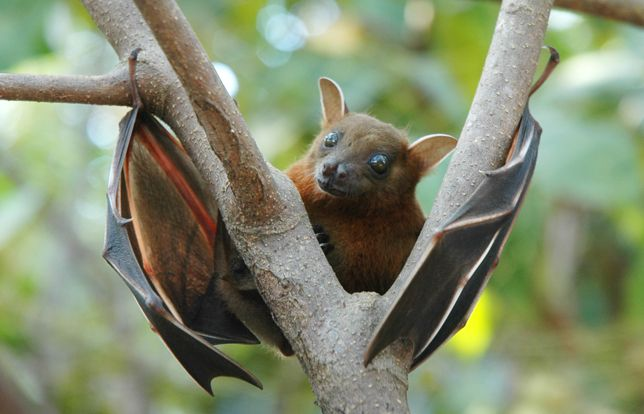 Lesser short-nosed fruit bat: Found in South and Southeast Asia and Indonesia, this bat species loves dining on mangoes.