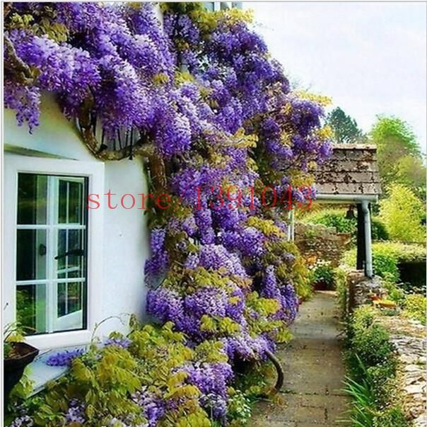 #wisteria #wisteria #wisteria #wisteria #outdoor #outd