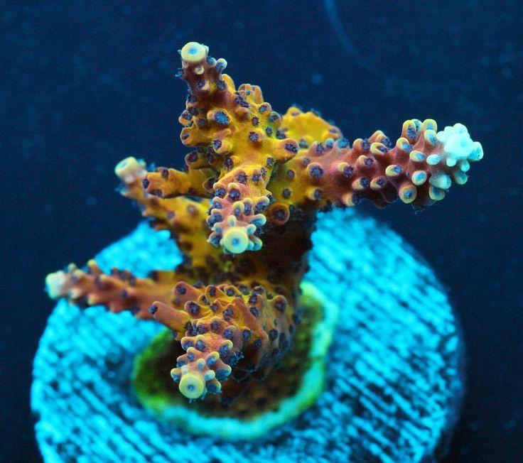 #reefraft #pinkcaddilac #acro #sps #coral #allmymoneygoestocoral #reeflove #reeftank #stickhead #eatsleepreef #acropora #coralporn #reefer #coralnursery #reef2reef #beautiful #ocean #macrophotography #saltwater #aquarium #reef #coralreef #CoralFarms