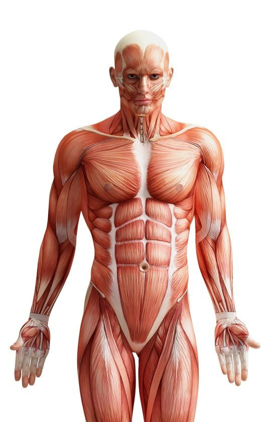 9 best images about muscle fiber on pinterest   massage, distance, Muscles