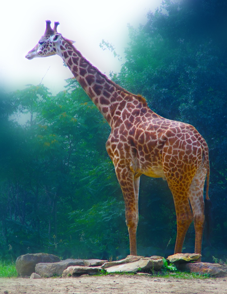 I don't know what it is about Giraffes? They are just so beautiful to me!