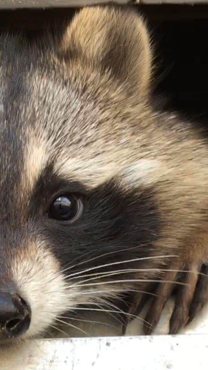 Raccoon (Mosey)