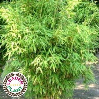 Bambou Fargesia 'Rufa' pot de 10L 120/130cm